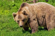 Két hónapja minden éjszaka visszajár – méhkaptárokat rombol és háziállatokat gyilkol egy medve a községben