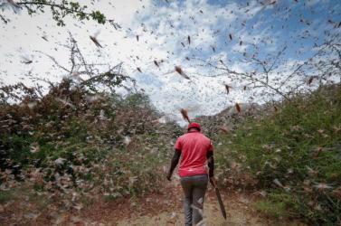 Százezer kacsát vetnek be a sáskák ellen