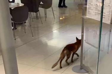 Beszökött egy róka a brit parlamentbe, egy kupac ürüléket is hátrahagyott