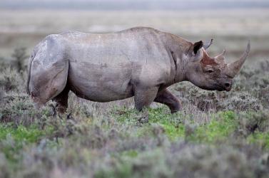 Negyvenhat évesen elpusztult a világ legidősebb keskenyszájú orrszarvúja