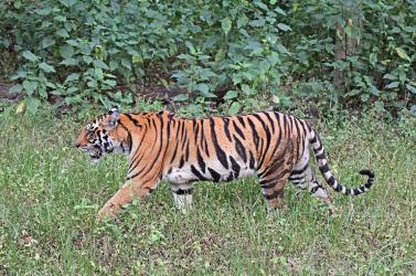 Tigris ölt meg egy vadászt