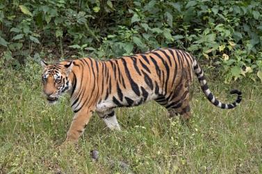 Utcán sétálgató tigrist próbáltak befogni lasszóval (videó)