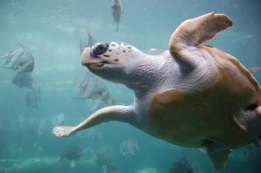 Összekeverik a műanyag és a táplálék szagát a teknősök - ezért érdekli őket annyira a műanyag a tengerben