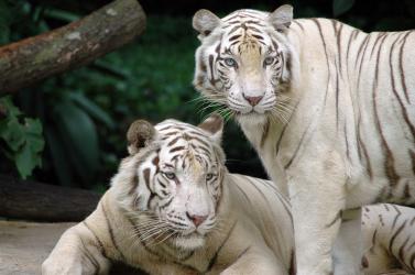 Fehér tigris harapta meg a cirkusz dolgozóját
