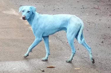Indiában kék kóborkutyák futkosnak az utcán, és ez nem photoshop!