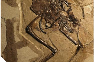 Tojásával a hasüregében kövesedett meg egy 110 millió éve élt madár