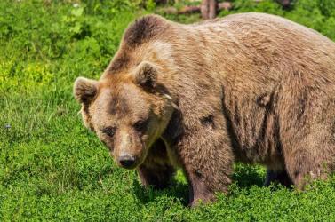 Medve ólálkodik a Kis-Duna partjainál, Nádszeg és Tallós is óvatosságra inti lakosait