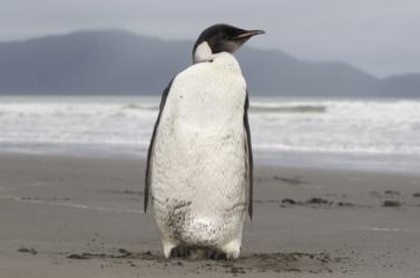 Eddig ismeretlen fajt azonosítottak egy óriáspingvin maradványaiban