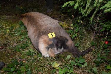 Szarvasokat lőttek le orvvadászok