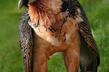 Idős saskeselyűpár fogadott örökbe egy fiókát a schönbrunni állatkertben