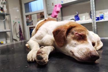 Az emberi kegyetlenségnek nincs határa – savval vakítottak meg egy ártatlan kutyust