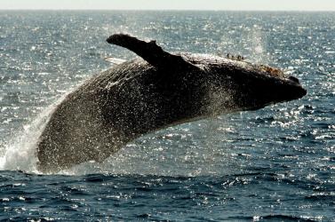 Öt elpusztult bálnát találtak Szicília térségében az elmúlt héten