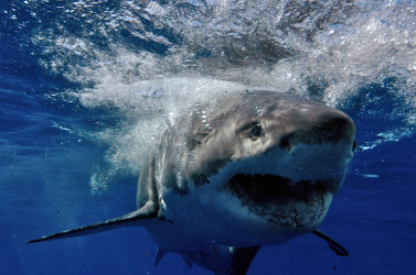 Új ősi cápafajt fedeztek fel Ausztriában talált fogak alapján
