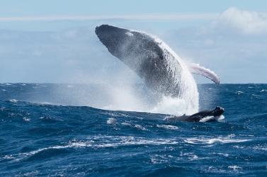 Az óceánvíz melegedése miatt egyre nő a hajók és a bálnák ütközéseinek kockázata