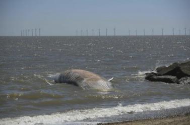 Hajók által elgázolt bálnák tetemét sodorta partra a víz