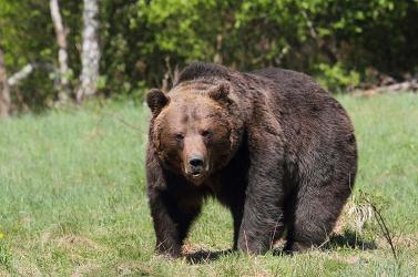 Maci Laciék nincsenek többé. Kilőtték a második veszélyes tusnádfürdői medvét is
