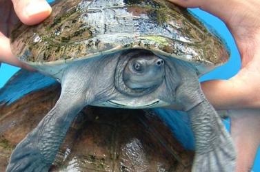 Egy súlyosan veszélyeztetett teknősfaj három fészkét fedezték fel Kambodzsában