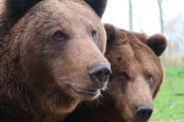 Környezetvédők szerint több barnamedvét kell betelepíteni a Pireneusokba