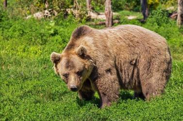 ÉSZMEGÁLL: Villanypóznára mászott egy medve