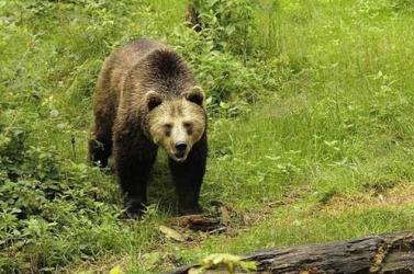 Veszélyben a szlovákiai túrázók: a medvék harmada nem alszik téli álmot az enyhe idő miatt