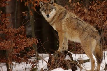 Öröm és boldogság: Mészárolhatjuk megint a farkasokat, a minisztérium megengedte