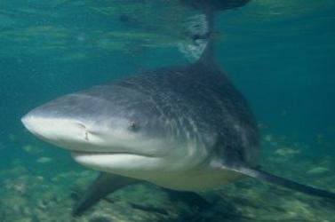 Azt hitték, örömében kiabál a fiú, közben pedig már a cápa szájában volt a lába