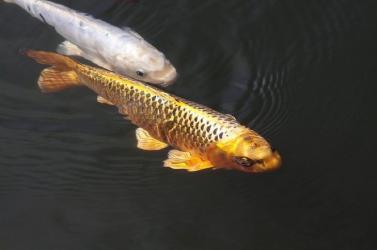 Drámaian pusztulnak az édesvízi halak