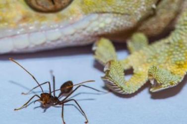 A gekkónál nagyobb állat képtelen lenne tapadós talpakkal falra mászni