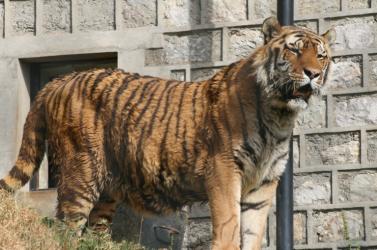 Rátámadt a tigris az állatkerti gondozóra