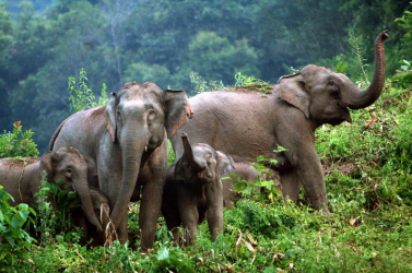 Vad ázsiai elefántok végeztek két emberrel