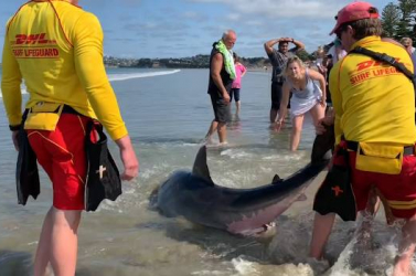 SZÖRNYŰ: Strandolók rugdostak agyon egy fehér cápát - videó