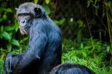 Nem a csimpánzoktól vagyunk kedvesek, legfeljebb önzők!