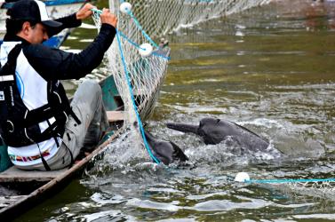 Higanyszennyezettség veszélyezteti az amazonasi folyamidelfineket