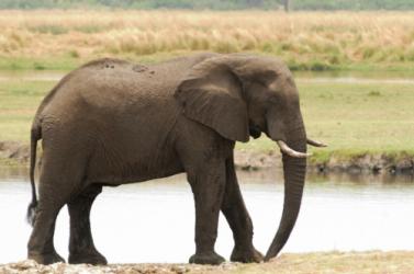 Megoldódott a botswanai tömeges elefántpusztulás rejtélye