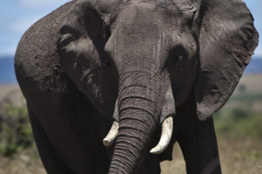 Kihalófélben vannak az elefántok Elefántcsontparton