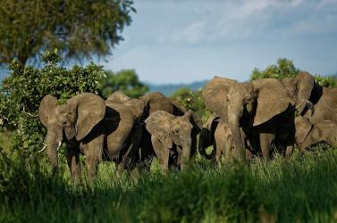 Méhzümmögéssel tartják távol az elefántokat a vasúti sínektől