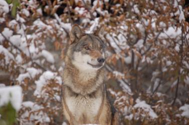 Farkasok tartják rettegésben a falut