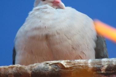 Büdös volt a galambkaki,ezért hálóbörtönbe zárták a madarakat a kassai kórháznál