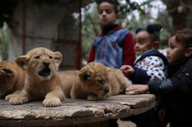 Külföldre menekítik a hírhedt gázai állatkert lakóit