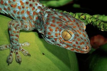 A gekkók tömeges kihalását okozta egy 35 millió évvel ezelőtti hirtelen klímaváltozás