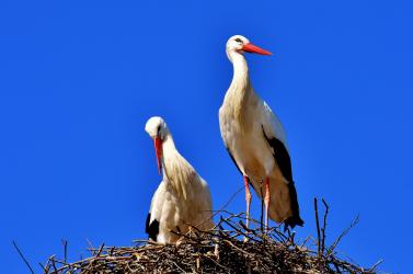 Nagy számban pusztultak el az erdőtüzek miatt megzavarodott gólyák Görögországban