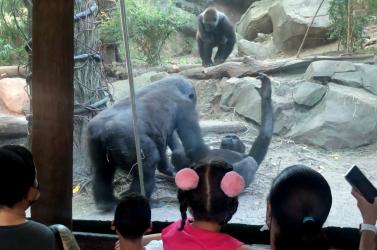 Elképesztő! Az állatkert látogatói szeme láttára kezdtek huncutkodni a gorillák (VIDEÓ)