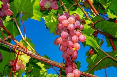 Több mint 9 ezer eurós rekordáron kelt egy fürt szőlő az árverésen (FOTÓ)