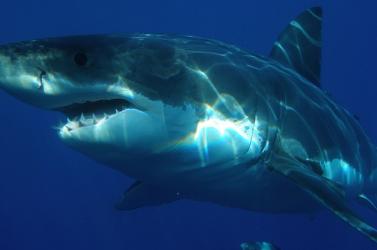 Több mint 20 cápafajt fenyeget a kihalás veszélye a Földközi-tengerben