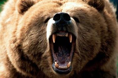 Argentínából Coloradóba helyeznek át 10 grizzly medvét