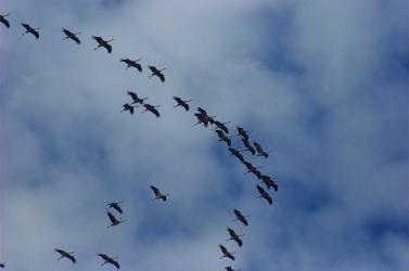 Gyorsan élnek, és fiatalon halnak a vándorlók