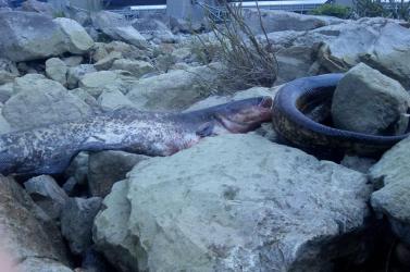 Emberi mulasztás miatt pusztulhatott el számos hal a dunacsúni erőműnél