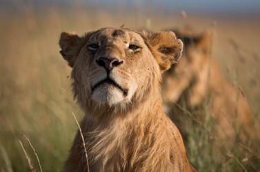 Hat megmérgezett oroszlán tetemére bukkantak egy ugandai nemzeti parkban