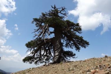 Ez a fa Európa legidősebb élő fája
