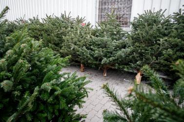 Párkányban megkezdték a karácsonyfák begyűjtését